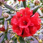 Red Rhodie